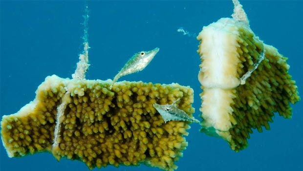 Cayman's Coral Nursery Program Launched with High Hopes