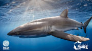 PADI Channels Shark Week Excitement to Raise Awareness  About the Importance of Shark Protection