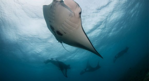 Experience Manta Rays and Sharks with Citizen Scientist Program Offered at Manta Ray Bay Resort Yap